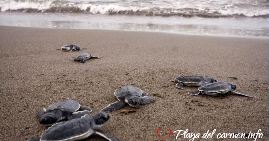 Playa Xcacel-Santuario de tortugas